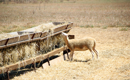 Sheep in a field, Provence