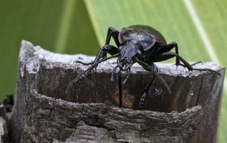 Ground beetle more appropriately known as   Carabus
