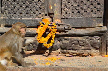 Rhesus monkeys at the Swayambunthan temple in Kathmandu, Nepal