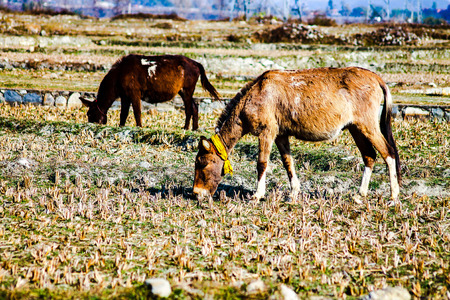 grazing work animals used to transport goods in the Himalayas
