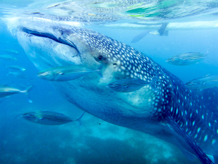 lateral front view of a young whale shark staggers under a small boat