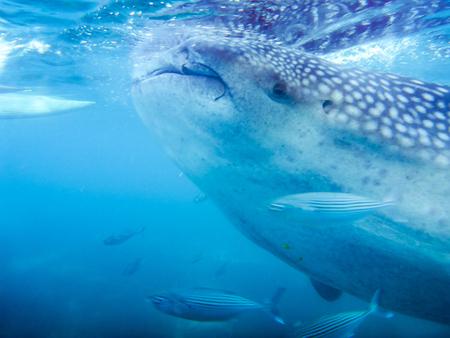 A closeup of a whale shark