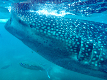 A whale shark opens his mouth at the close-up shot
