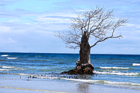Where mangrove forests once grew, there is only one tree that has escaped deforestation