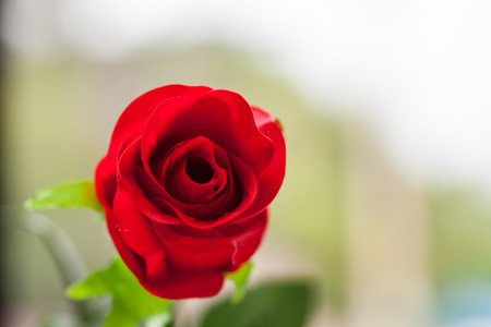 Red rose with leaves. / Object isolated on green garden background.