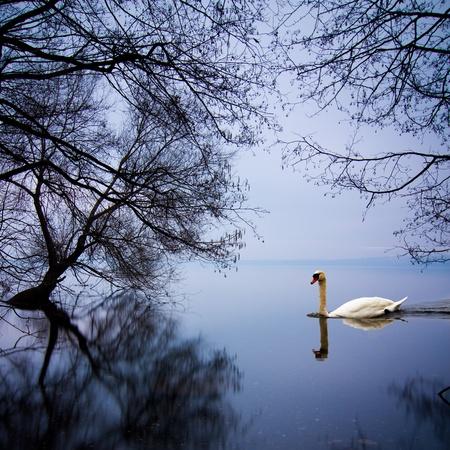 White swan swimming gently in still lake water in blue light