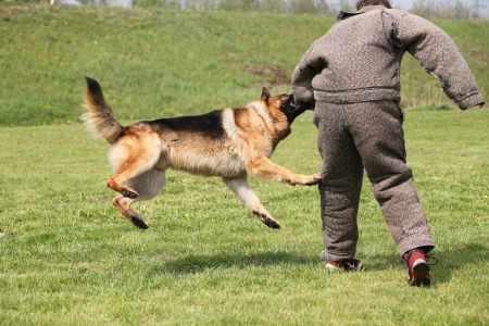 Attack dog training session