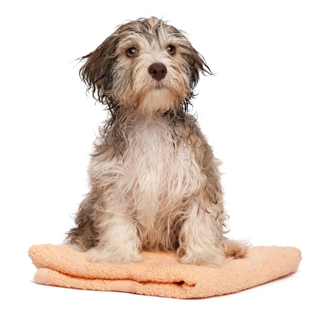 A wet chocolate havanese puppy dog after bath is sitting on a peach towel isolated on white background