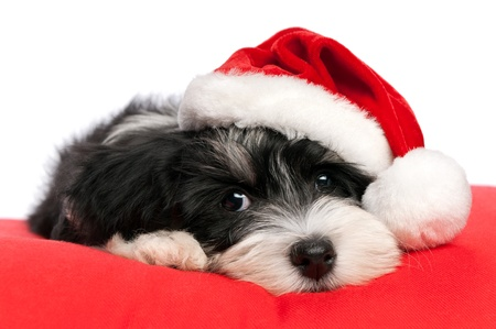 Photo for Cute Bichon Havanese puppy dog in Christmas - Santa hat is lying on a red cushion. Isolated on a white background  - Royalty Free Image