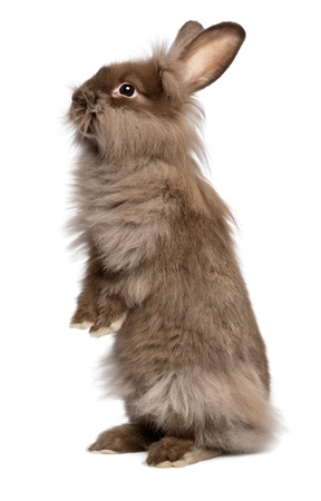 A cute standing chocolate colored lionhead bunny rabbit, isolated on white background