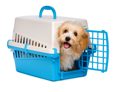 Cute happy reddish havanese puppy dog is looking out from a blue and gray pet crate, isolated on white background