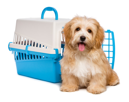 Cute happy reddish havanese puppy dog is sitting before a blue and gray pet crate and looking at camera, isolated on white background