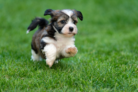 Photo pour Cute little havanese puppy dog is running in the grass - image libre de droit