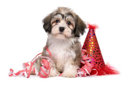 Foto de Cute Havanese puppy dog sitting among New Year party decorations - isolated on white background  - Imagen libre de derechos