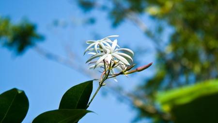 Angelwing jasmine flower