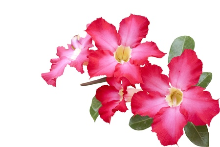 isolated impala lily   Adenium obesum Balf   on white background