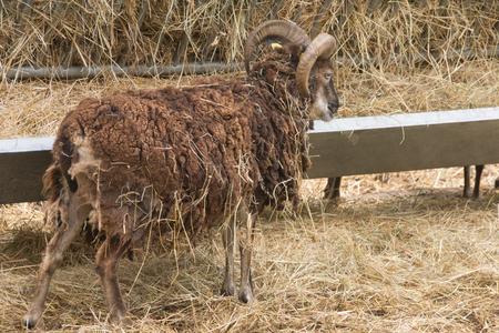 Domestic goat (Capra aegagrus hircus)