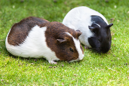 Two brown and white Guinea pig eat green grassの写真素材
