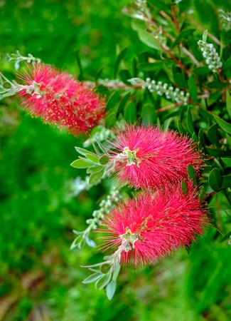 Photo pour Plant of Callistemon with red bottlebrush flowers - image libre de droit