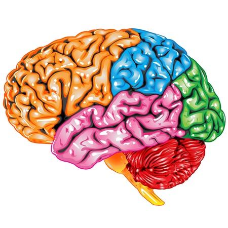 Illustration pour Human brain lateral view - image libre de droit