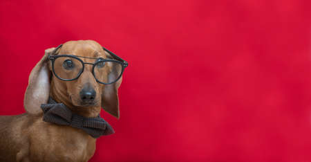 Photo for A dachshund dog in a stylish bow tie looks attentively at the camera through glasses. Red-haired smart dachshund posing on a red background in a photo studio. - Royalty Free Image