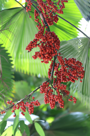 Balan fruit on tree of tropical palm in the public park at Thailand.
