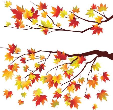 Autumn maple tree branches on white background