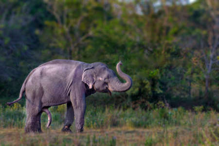 Photo pour Asian male elephant in heat, in Minneriya, Sri Lanka. - image libre de droit