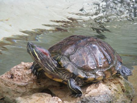 Aquatic turtles have emerged from the water to rest.