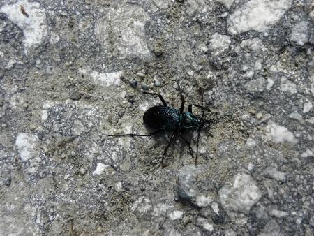 Beetle family runners-Carabidae with metallic dark violet