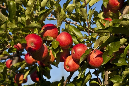 ripe apples on a tree branch against blue sky