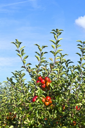 ripe fruity apples at the tree