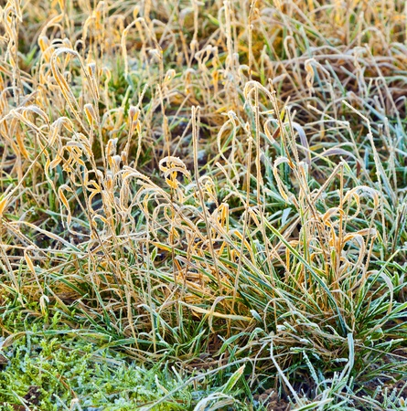 frozen grass at the meadow in Winter