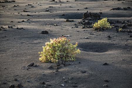 bush grows on volcanic lapilli eart in Timanfaya national park in Lanzarote