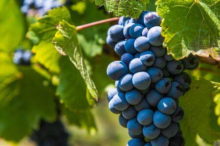 Foto für Red wine grapes on a vine in a vineyard in Mendoza on a sunny day, - Lizenzfreies Bild