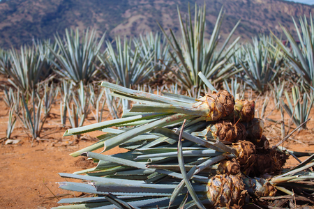 Pineapple field. Young pineapples in the field. Harvesting the agave in the field. Mexican agave in process of crop harvesting.