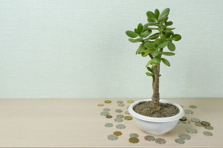 Photo pour Money tree, latin name Crassula. Around it lie coins of yellow and white metal. The concept of wealth, investment, investment, bank deposit. Place for text - image libre de droit