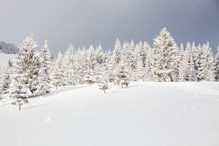 Photo for winter in the mountains - snow covered fir trees - Christmas background - Royalty Free Image
