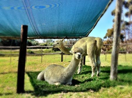 cute lamas