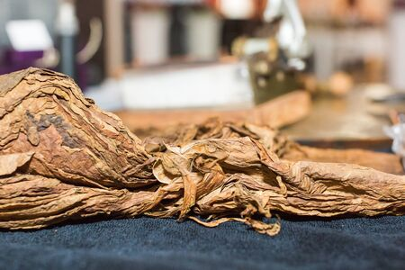 Dried fermented tobacco leaves of the highest quality before production of Cuban cigars.