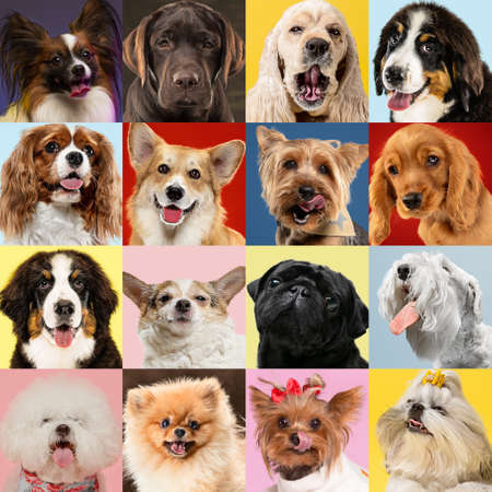 Photo pour Stylish adorable dogs posing. Cute doggies or pets happy. The different purebred puppies. Creative collage isolated on multicolored studio background. Front view, modern design. Various breeds. - image libre de droit