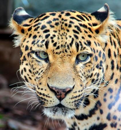 Panther Portrait