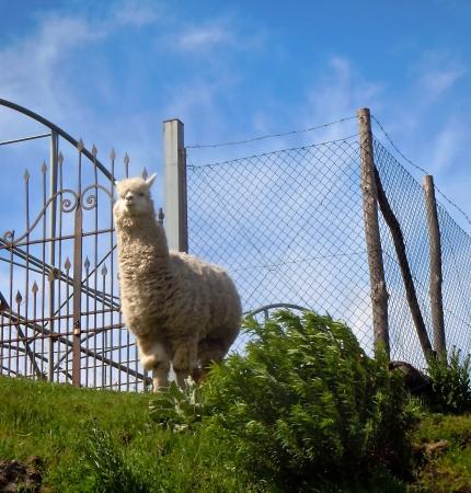 King of the Hill Llama