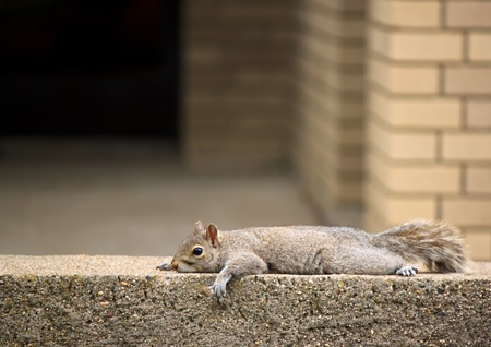 Adorable squirrel resting on brick wall