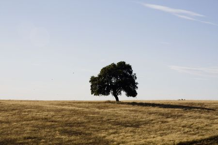 View of a lonely tree on a golden dryed grass field on the Alentejo.