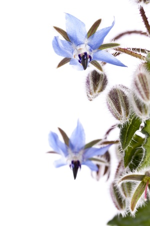 Close up view of the Borage Flower (Borago Officinalis) isolated on a white background.