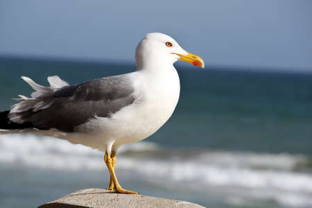 Photo for View from the side, a seagull marine bird watching the sea. - Royalty Free Image