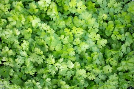 coriander thailand