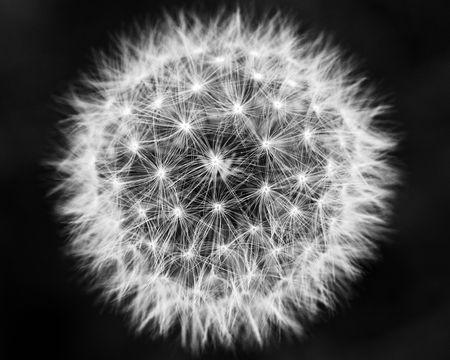 Macro of Dandelion in Full Bloom