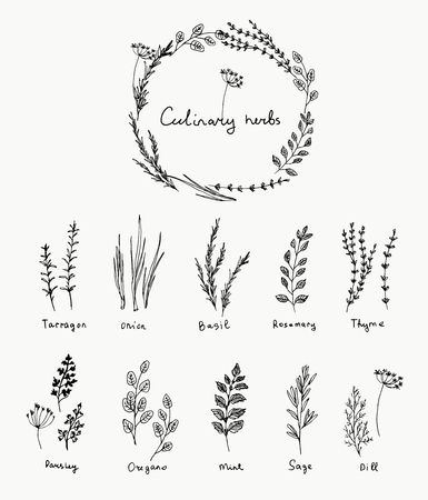 Hand drawn set of culinary herb. Basil and mint, rosemary and sage, thyme and parsley. Food design logo elementsのイラスト素材